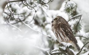 Картинка зима, снег, ветки, сова, птица, хвоя, сыч