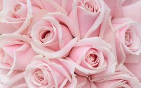 Картинка макро, розы, розовые