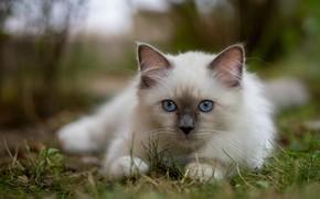 Картинка трава, взгляд, мордочка, котёнок, голубые глаза, боке, Бирманская кошка