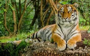 Картинка тигр, животное, отдых, Кошка
