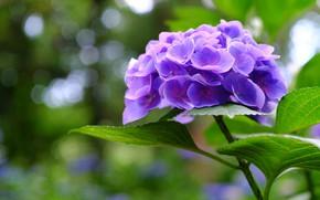 Картинка голубая, гортензия, соцветие, размытость боке