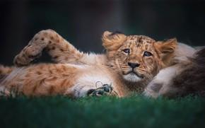 Картинка взгляд, поза, фон, лев, малыш, лежит, львенок, львёнок