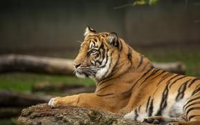 Картинка тигр, фон, отдых, лежит, профиль, бревно, боке