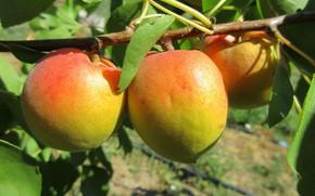 Картинка плоды, абрикосы, Meduzanol ©, лето 2018