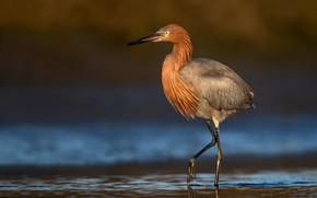 Картинка вода, природа, птица, цапля, боке, Reddish Egret