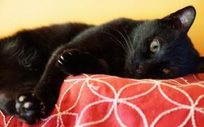Картинка кошка, кот, взгляд, морда, черный, лапы, лежит