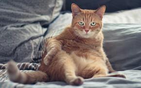 Картинка кошка, кот, взгляд, морда, поза, фон, белье, кровать, портрет, подушки, лапы, рыжий, постель, злой, недовольный, …