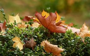 Картинка осень, листья, кустарник, боке