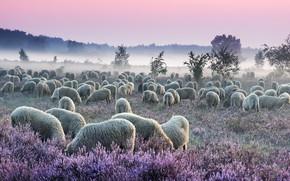 Картинка поле, лес, небо, деревья, цветы, природа, туман, рассвет, овцы, утро, пастбище, дымка, розовые, белые, овечки, …