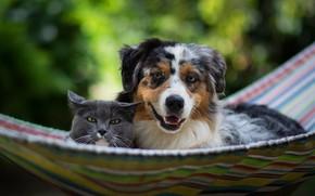 Картинка кошка, отдых, собака, дружба, гамак, аусси