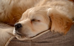 Картинка сон, собака, нос, щенок, мордашка, пёсик, Голден ретривер, Золотистый ретривер, спящий