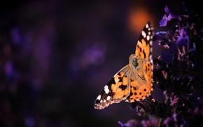 Картинка макро, цветы, темный фон, бабочка, оранжевая, фиолетовые, насекомое, рыжая, сиреневые, крапивница
