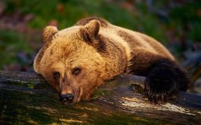 Картинка морда, отдых, медведь, мишка, бревно, топтыгин