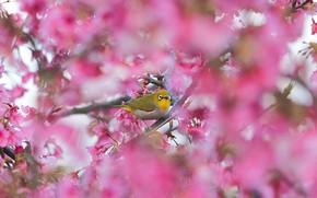 Картинка ветки, птица, весна, сакура, цветение, боке, японская белоглазка