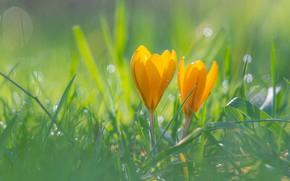 Картинка трава, свет, цветы, поляна, весна, желтые, крокусы, боке