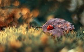 Картинка осень, макро, природа, лист, божья коровка, жук, боке