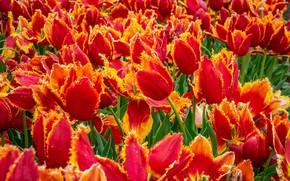 Картинка поле, цветы, весна, тюльпаны, красные, оранжевые, бутоны, много, поле тюльпанов, плантация, огненные, тюльпановое поле