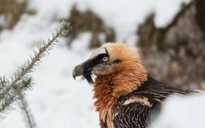 Картинка зима, снег, птица, гриф, бородатый гриф