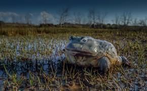 Картинка природа, болото, жаба