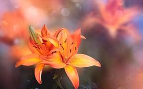 Картинка макро, цветы, природа, лилии, тычинки, пестики, боке