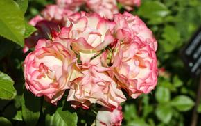Картинка цветы, розовый, розы, цветение