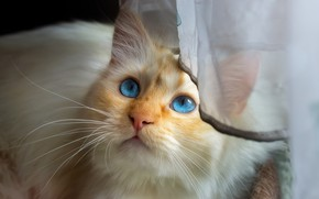 Картинка кошка, кот, взгляд, морда, портрет, занавеска