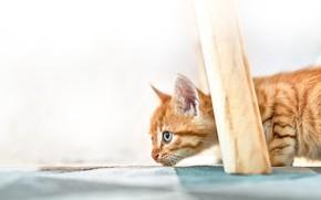 Картинка рыжий, котёнок, котейка