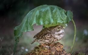 Картинка природа, лист, дождь, птица, Little Owl