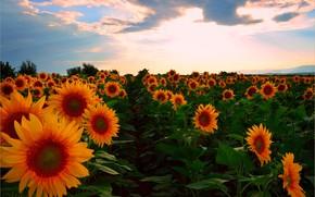 Картинка Закат, Поле, Лето, Подсолнухи, Sunset, Summer, Field, Sunflowers