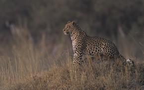 Картинка природа, леопард, сухая трава, DUELL ©