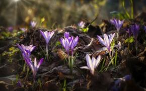 Картинка свет, поляна, весна, крокусы