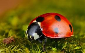 Картинка макро, красный, зеленый, фон, божья коровка, мох, жук, насекомое