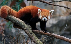 Картинка взгляд, ветки, природа, поза, фон, дерево, хвост, красная панда, мордашка, малая панда, красавчик