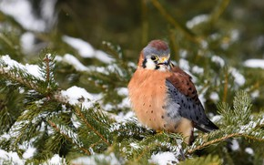 Картинка зима, снег, ветки, птица, сокол, хвоя
