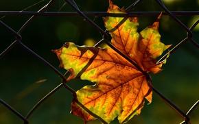 Картинка осень, листья, свет, темный фон, сетка, забор, листок, паутина, кленовый, осенние листья, осенний листок