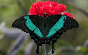 Картинка цветок, макро, бабочка, крылья, насекомое, махаон