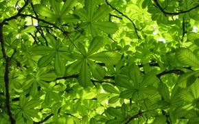 Картинка зелень, листья, каштан, весна 2018, Mamala ©
