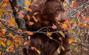 Картинка осень, ветки, ягоды, дерево, медведь, на дереве