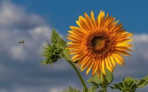 Картинка небо, пчела, подсолнух