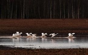 Картинка осень, лес, вода, птицы, природа, озеро, темный фон, берег, лебедь, речка, белые, лебеди, взлет, водоем, …