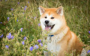 Картинка язык, трава, морда, цветы, собака, Акита-ину