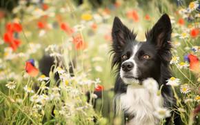 Картинка взгляд, морда, цветы, маки, ромашки, собака, луг, боке, Бордер-колли