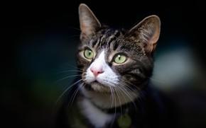 Картинка кошка, взгляд, портрет, мордочка, тёмный фон, котейка