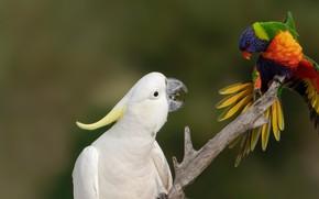 Картинка птицы, фон, встреча, ветка, попугаи, Большой желтохохлый какаду, Радужный лорикет