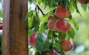 Картинка листья, капли, ветки, дерево, столб, плоды, опора, персики, висят