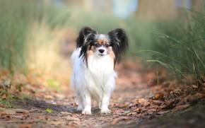 Картинка осень, трава, взгляд, листья, природа, поза, фон, стебли, листва, собака, щенок, мордашка, собачка, милашка, тропинка, …