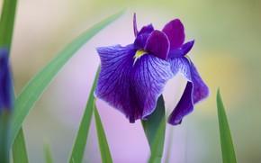 Картинка цветок, фиолетовый, листья, сиреневый, один, светлый фон, ирис