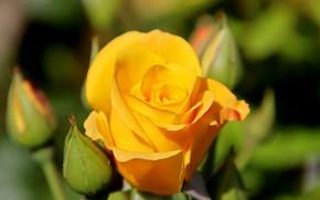 Картинка размытость, желтая роза, бутоны роз