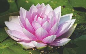 Обои листья, вода, Цветок, цветение, Водяная лилия