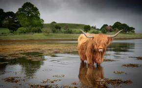 Картинка природа, река, скот